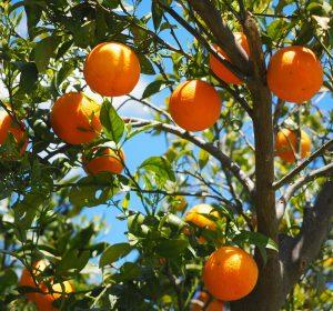Vrucht dragen